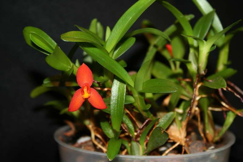 Максиллярия софронитис Maxillaria sophronitis фото