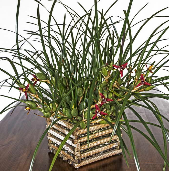 Максиллярия узколистная или кокосовая орхидея Maxillaria Tenuifolia, Maxillariella Tenuifolia фото