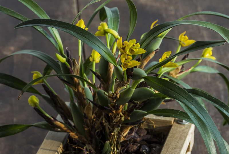Максиллярия вариабилис Maxillaria variabilis фото