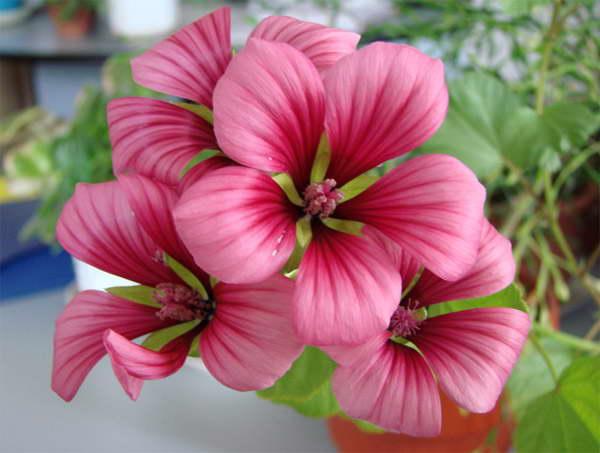 Малопа Пурпурея Malope purpurea фото