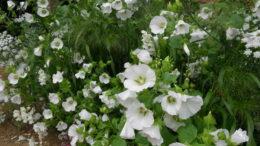 Малопа фото цветов на клумбе выращивание и уход в открытом грунте