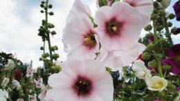 Мальва шток роза выращивание из семян фото