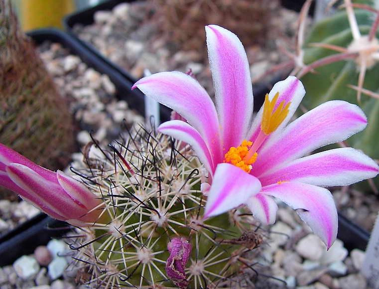 Маммиллярия Блоссфельда Mammillaria blossfeldiana фото