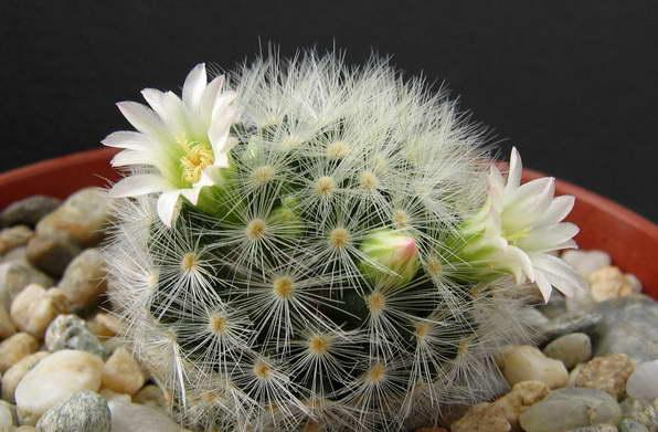 Маммиллярия Кармен Mammillaria carmenae фото