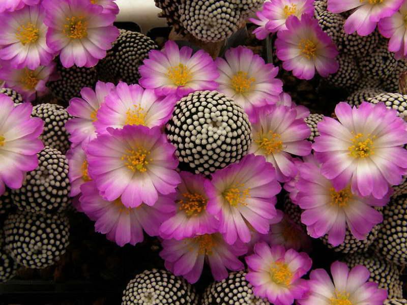 Маммиллярия Люти Mammillaria luethyi фото