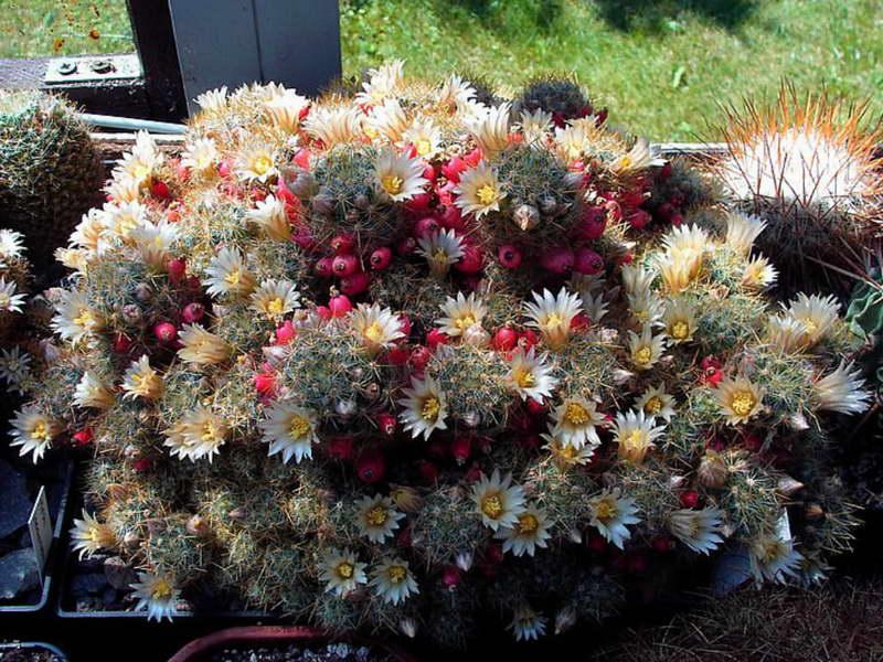 Маммиллярия Пролифер или побегоносная или израстающая Mammillaria prolifera фото