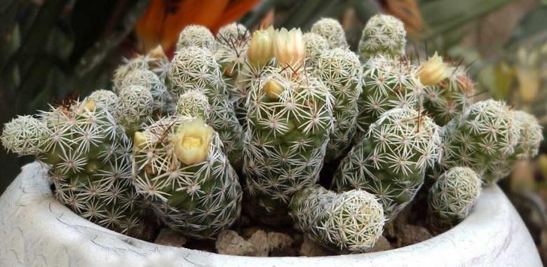 Маммиллярия стройная Mammillaria gracilis фото