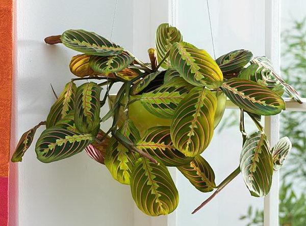 Маранта трехцветная молитвенное растение фото Уход в домашних условиях