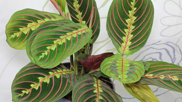 Марантовые растения фото и названия