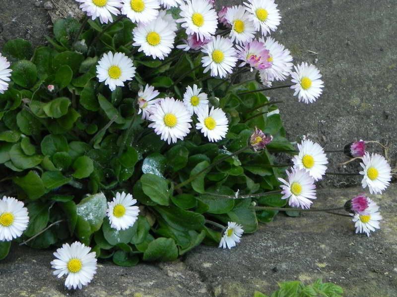 Маргаритка выращивание из семян когда сажать фото