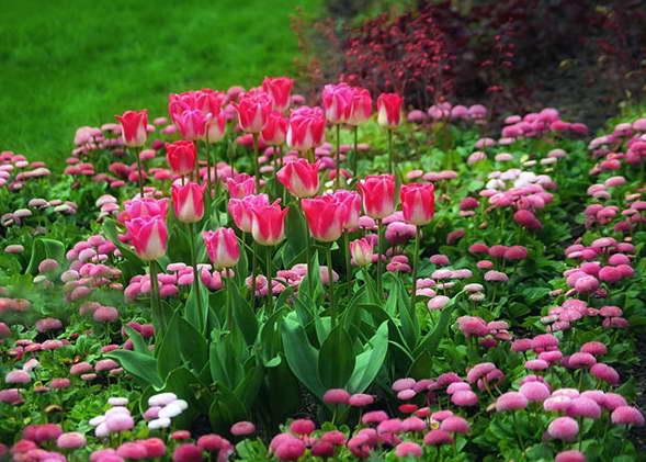 Маргаритки и тюльпаны фото клумбы