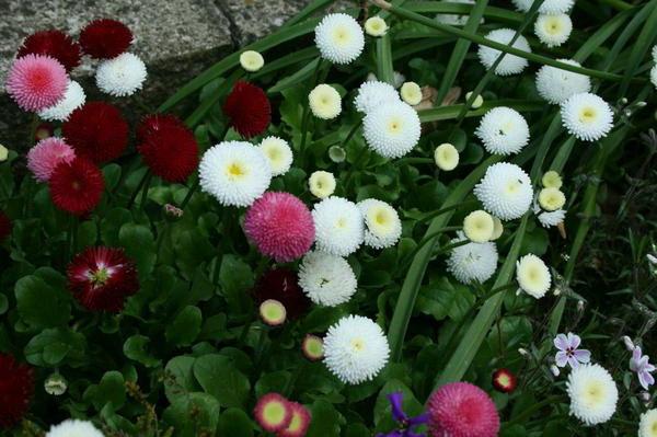 Маргаритки посадка семенами Маргаритка в саду фото