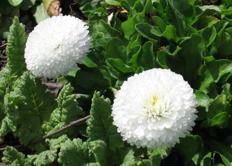 Маргаритки сорт Белый шар фото и описание