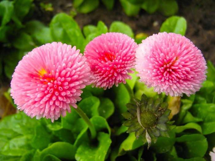 Маргаритки сорт Розовый шар фото и описание