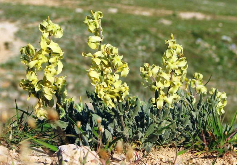 Маттиола душистая или левкой душистый Matthiola odoratissima фото