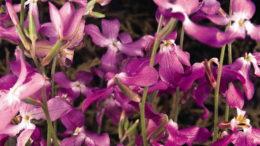 Маттиола двурогая выращивание из семян Маттиола вечерний аромат или ночная фиалка