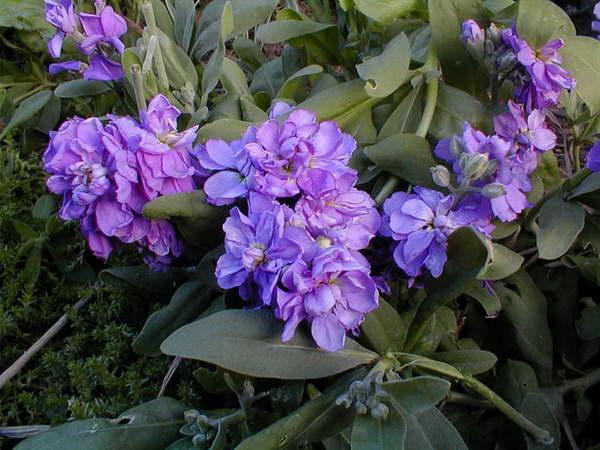 Маттиола седая выращивание из семян Посадка и уход в саду