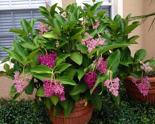 Мединилла мирианта или малазийская орхидея Medinilla myriantha фото