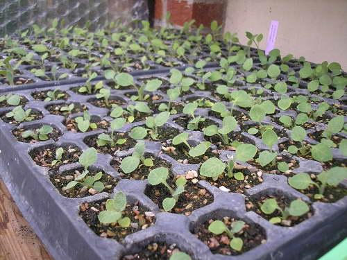 Меконопсис гималайский мак выращивание из семян Фото рассады
