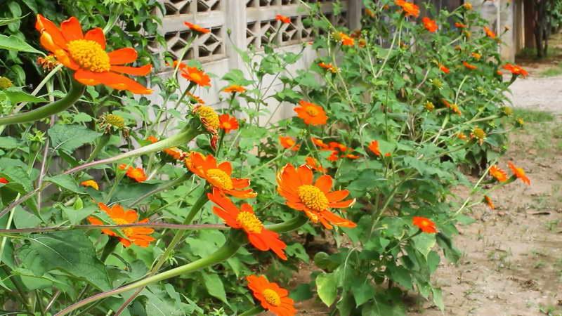 Мексиканский подсолнух титония фото