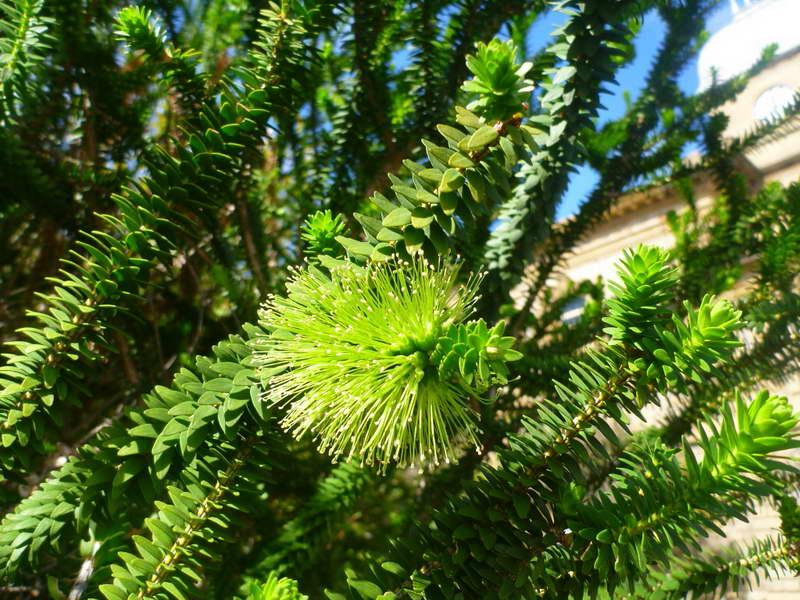 Мелалеука диосмолистная или зеленый медовый мирт Melaleuca diosmifolia фото