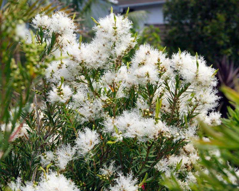 Мелалеука льняная Melaleuca linariifolia фото
