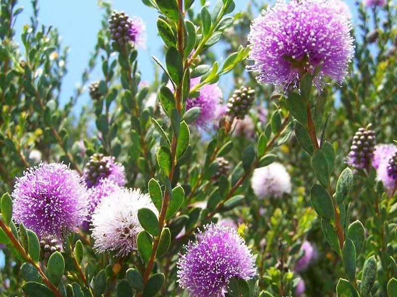 Мелалеука несофила Melaleuca nesophila или розовый медовый мирт Showy Honey Myrtle фото