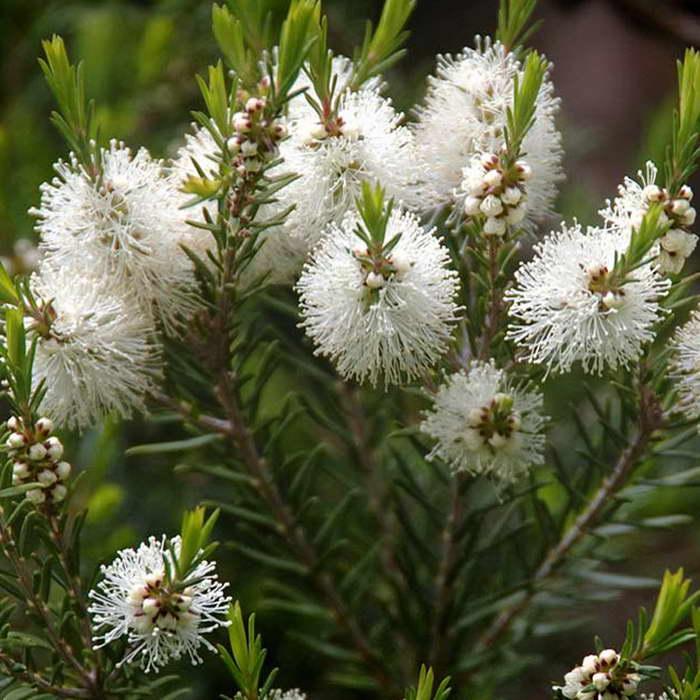 Мелалеука очереднолистная или австралийское чайное дерево Melaleuca alternifolia фото