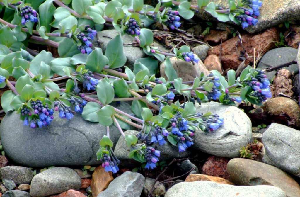 Мертензия приморская на альпийской горке фото