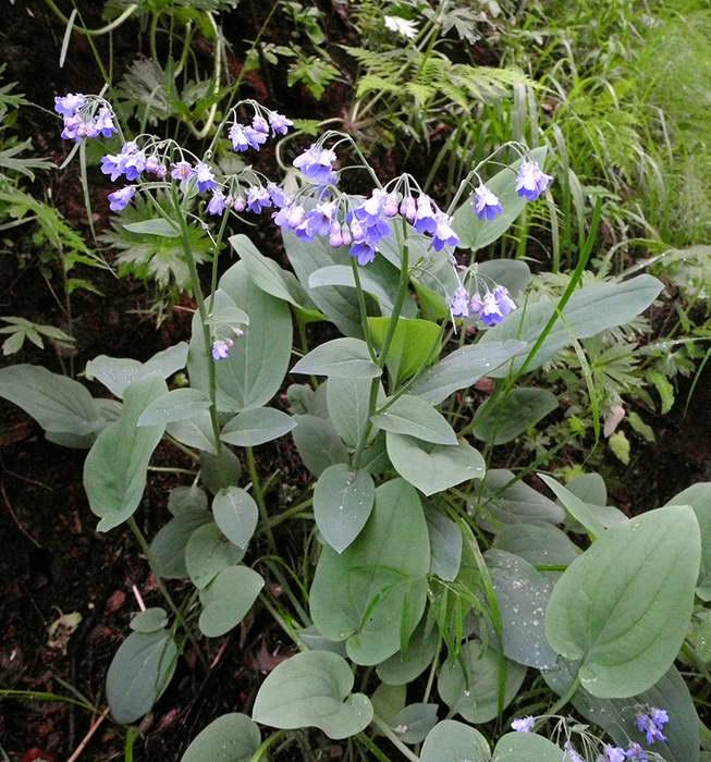 Мертензия сибирская Mertensia sibirica фото