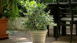 Метросидерос домашний уход и выращивание