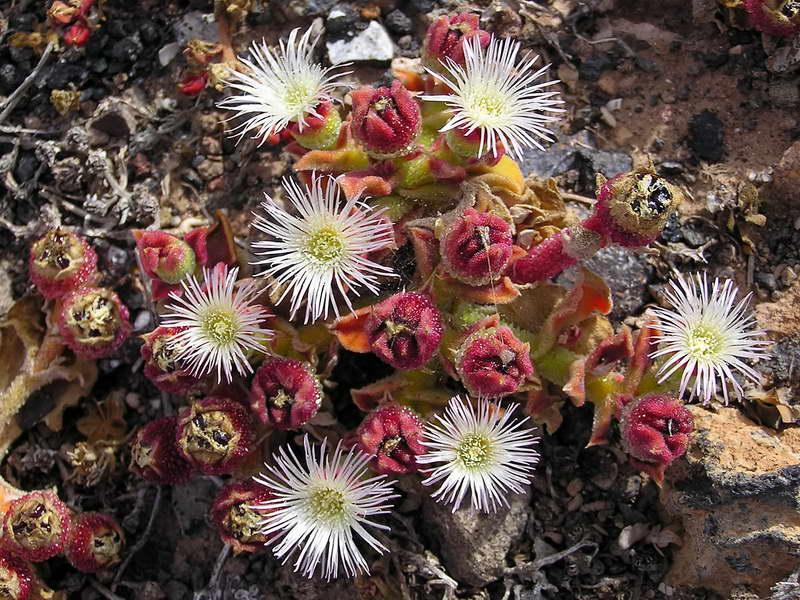 Мезембриантемум хрустальный или Хрустальная трава Mesembryanthemum crystallinum фото