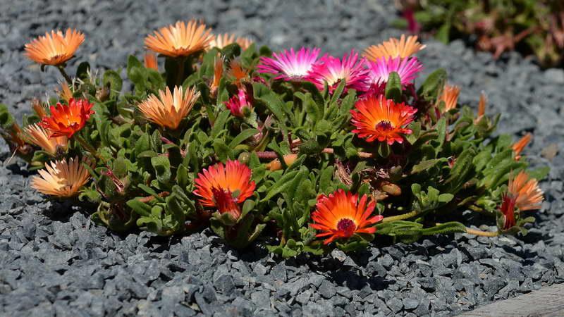 Мезембриантемум волосоцветковый Mesembryanthemum criniflorum фото