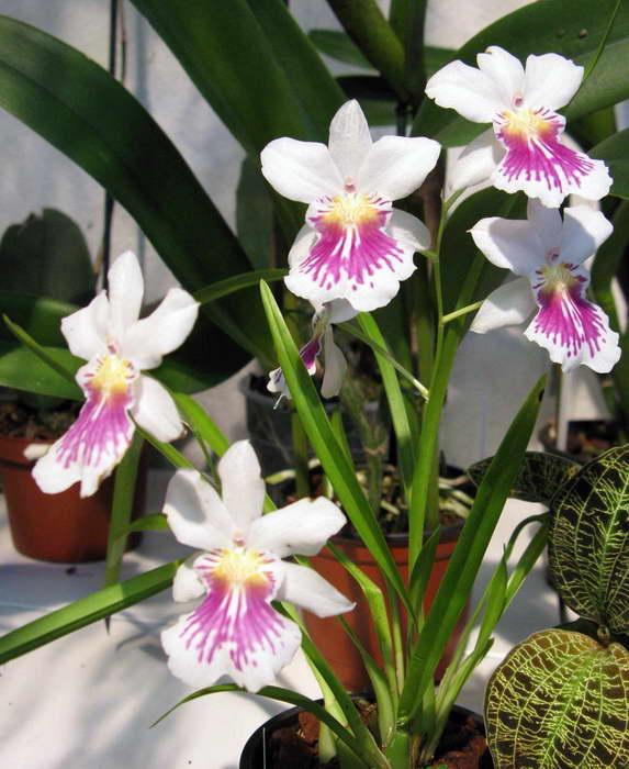Мильтониопсис Miltoniopsis или Miltonia phalaenopsis