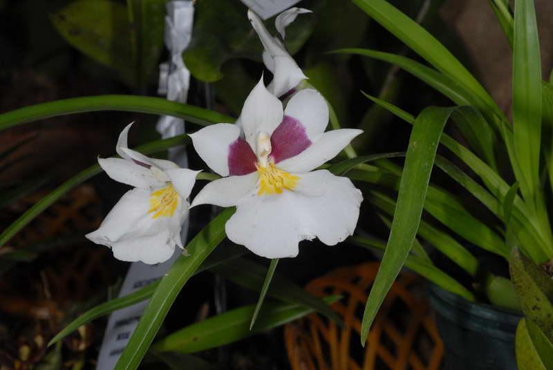 Мильтониопсис Роэзла Miltoniopsis Roezlii фото