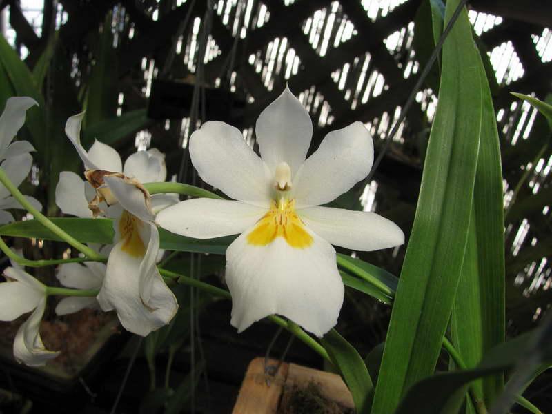 Мильтониопсис Сантана Miltoniopsis Santanaei фото