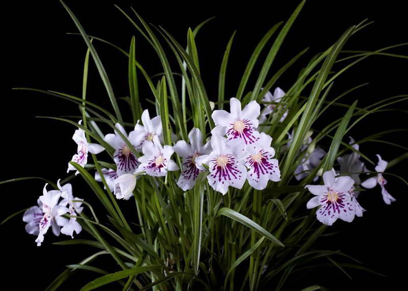 Мильтониопсис фаленопсис Miltoniopsis Phalaenopsis фото