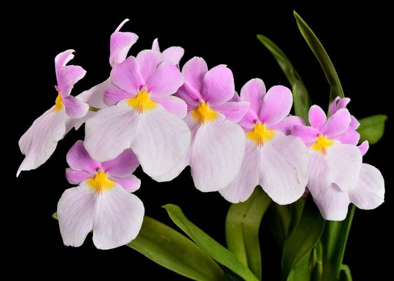 Miltoniopsis vexillaria var Leucoglossa