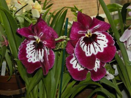 Мильтония орхидея размножение и уход