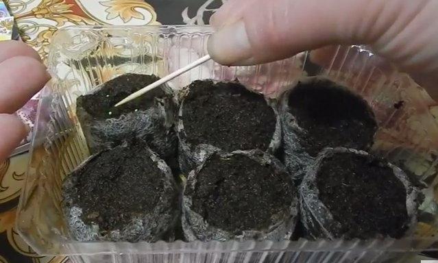 Мимулюс выращивание из семян когда сажать