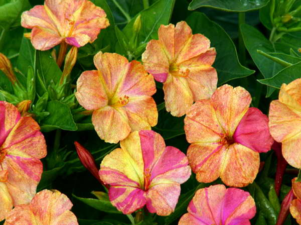 Мирабилис Марблс Еллоу ред Mirabilis jalapa Marbles Yellow Red фото
