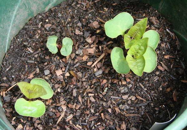 Мирабилис из семян в домашних условиях фото