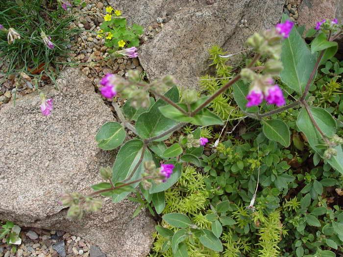 Мирабилис круглолистный Mirabilis rotundifolia фото