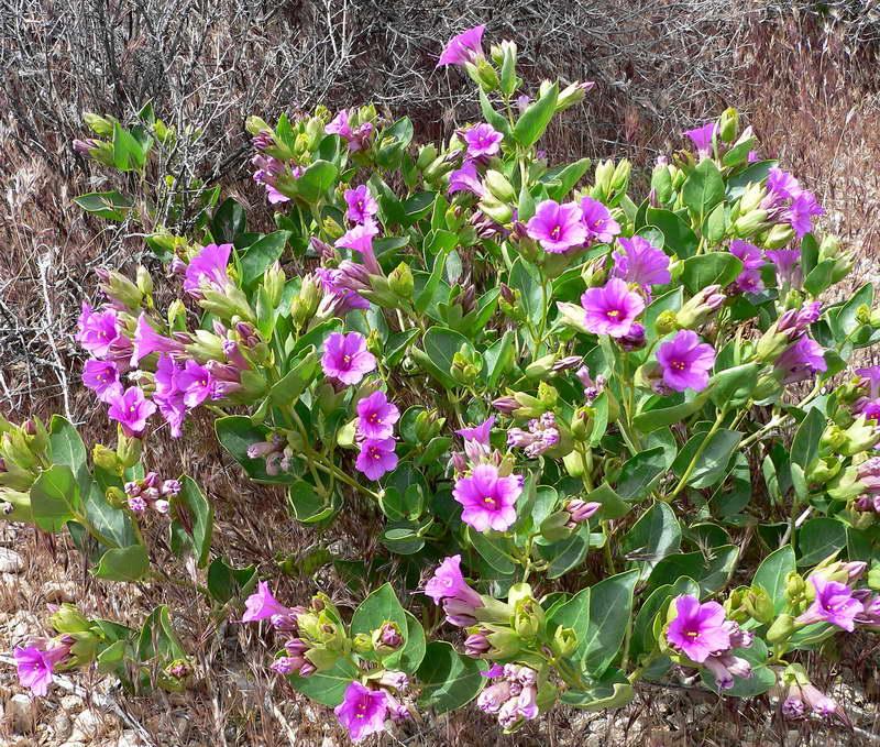 Мирабилис многоцветковый Mirabilis multiflora фото цветов