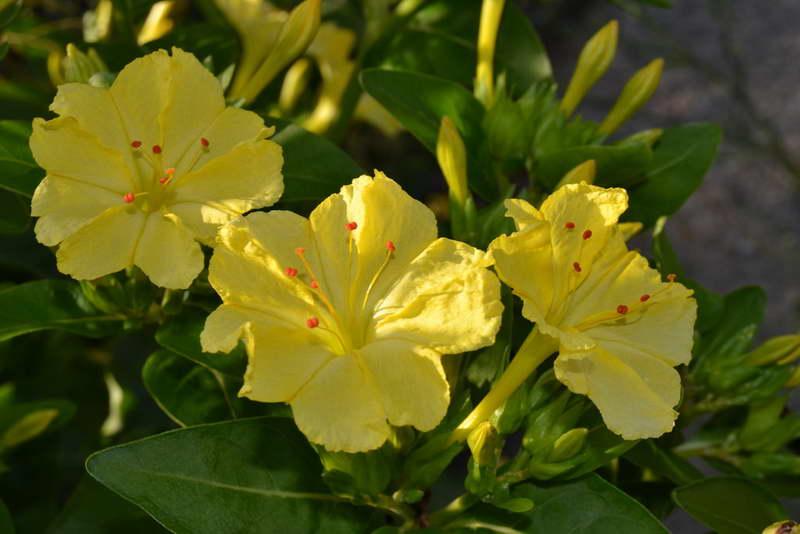Мирабилис ялапа или мирабилис слабительный mirabilis jalapa фото