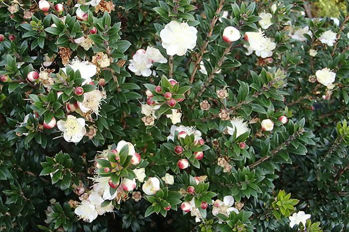 Мирт мелколистный Myrtus communis microphylla фото