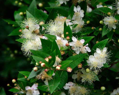 Мирт обыкновенный Myrtus communis фото