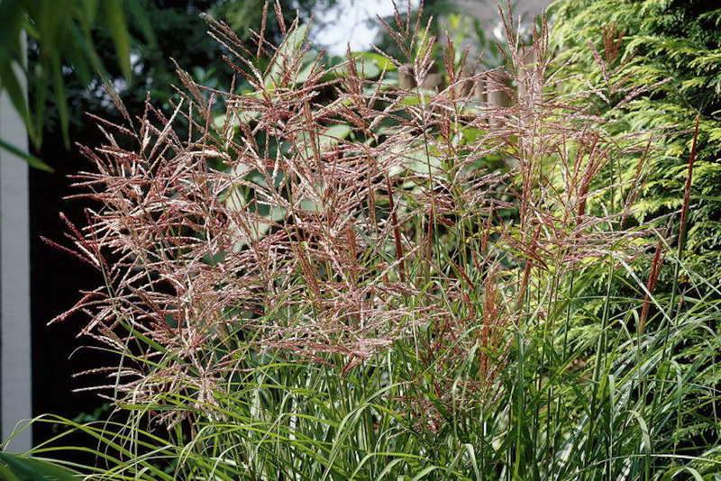 Мискантус китайский Miscanthus sinensis 'Nippon' фото