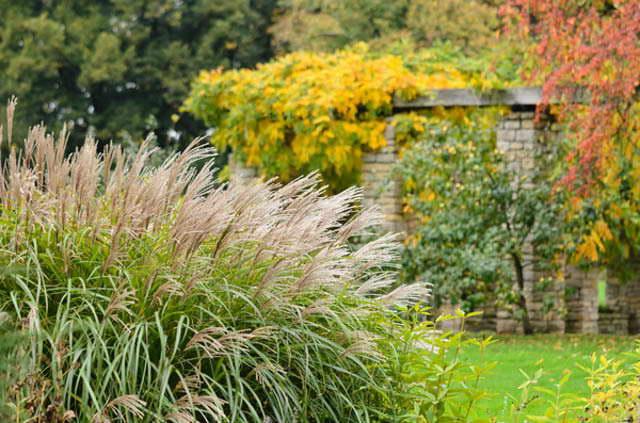 Мискантус на даче фото осенью