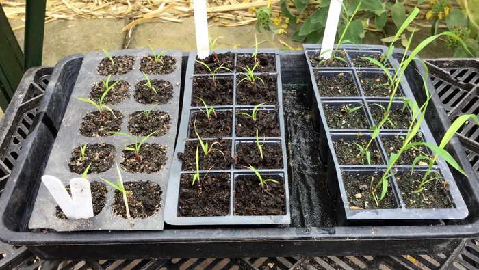 Мискантус выращивание из семян фото рассады
